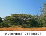 Acacia Tree With Flat Crown