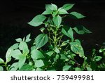 Small photo of Acalypha indica Linn Small herb, small leaves, slightly wavy leaves. The leaf is green. The flowers are bouquet of flowers around the stem is similar to the young leaves. The flowers will be covered
