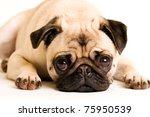 A Cute Pug Dog With A Sad  Fla...