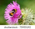 Bumble Bee Collecting Pollen O...