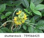 phyllanthus emblica linn. | Shutterstock . vector #759566425