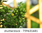 Green Limes On A Tree. Lime Is...