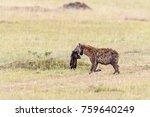 tracking collar provided hyena... | Shutterstock . vector #759640249