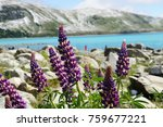 purple lupin flowers at the... | Shutterstock . vector #759677221