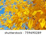tree with yellow leaves in... | Shutterstock . vector #759690289