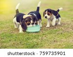 Stock photo cute little beagles eating feed in dog bowl 759735901