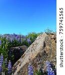 blue lupine flower in iceland | Shutterstock . vector #759741565
