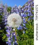 blue lupine flower in iceland | Shutterstock . vector #759741571