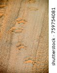 lion tracks paw prints on a...   Shutterstock . vector #759754081