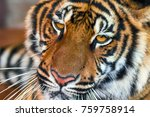 the indochinese tiger. close up | Shutterstock . vector #759758914