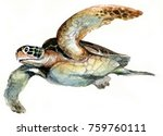Watercolor Painting Sea Turtle...