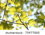 Spring Maple Leaves Against Th...