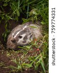Small photo of North American Badger (Taxidea taxus) Peers Out of Burrow - captive animal