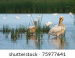 white pelicans flock on water | Shutterstock . vector #75977641