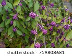 Small photo of purple elder berry bush ripe fruits Sambucus Adoxaceae adoxa