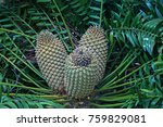 Cycad With Female Cones