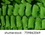 Small photo of walking fern or maidenhair fern, is a genus of about 250 species of ferns in the Vittarioideae subfamily of the family Pteridaceae, though some researchers place it in its own family, Adiantaceae