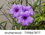 ruellia simplex morning glory... | Shutterstock . vector #759867877