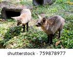bat eared fox portrait in green ... | Shutterstock . vector #759878977