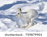 Stock photo white snowshoe hare or varying hare running in the winter snow in canada 759879901