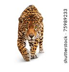 Stock photo jaguar panther front view isolated on white shadow the same over black image id 75989233