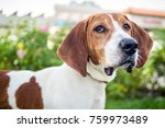 portrait of a brown and white...   Shutterstock . vector #759973489