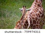 giraffe baby following mom | Shutterstock . vector #759974311