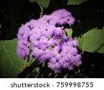 Small photo of Purple Ageratum Flower