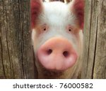 big pig on a farm in a pigsty | Shutterstock . vector #76000582