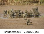 Troop Of Olive Baboons Drinkin...