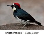 Adult Male Acorn Woodpecker...