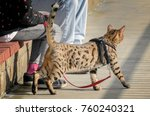 domestic cheetoh cat on a leash. | Shutterstock . vector #760240321