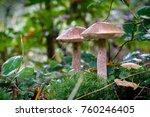 birch mushrooms on the forest... | Shutterstock . vector #760246405