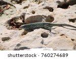 arubian whiptail lizard | Shutterstock . vector #760274689