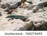 arubian whiptail lizard | Shutterstock . vector #760274695