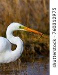 big white heron. great egret.... | Shutterstock . vector #760312975