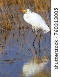big white heron. great egret.... | Shutterstock . vector #760313005