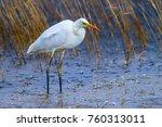 big white heron. great egret.... | Shutterstock . vector #760313011