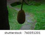 artocarpus heterophylluslarge... | Shutterstock . vector #760351201