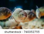 several piranhas in the... | Shutterstock . vector #760352755