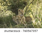 tiny lion cub playing with... | Shutterstock . vector #760567357