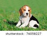 Cute Beagle Puppy 8 Weeks...
