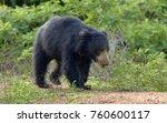 the sri lankan sloth bear ... | Shutterstock . vector #760600117
