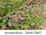 false heather or elfin herb | Shutterstock . vector #760617847