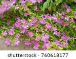false heather or elfin herb | Shutterstock . vector #760618177