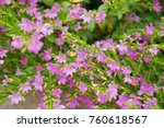 false heather or elfin herb | Shutterstock . vector #760618567
