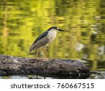 black crowned night heron... | Shutterstock . vector #760667515