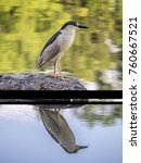 black crowned night heron... | Shutterstock . vector #760667521