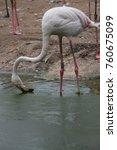 flamingo drinking water | Shutterstock . vector #760675099