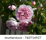 beautiful pink  heritage rosa... | Shutterstock . vector #760714927